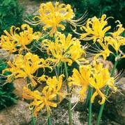 Yellow Spider Lily
