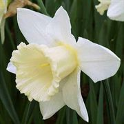 Mount Hood Daffodil Bulb - Pack of 10
