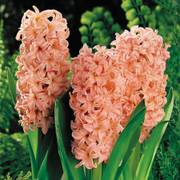Gypsy Queen Hyacinth - Pack of 5