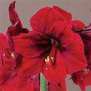 Winter Welcome Amaryllis