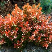 Admiration Barberry