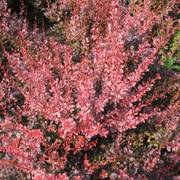 Berberis Rosy Rocket