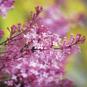 Colbys Wishing Star Dwarf Lilac