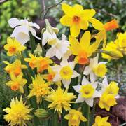 Daffodil Garden Box Collection