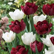 Tulip Double Dazzle Mix