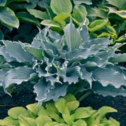 Hosta Waterslide
