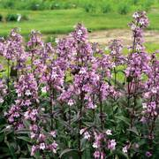Midnight Masquerade penstemon