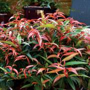 Leucothoe Leafscape™ Burning Love