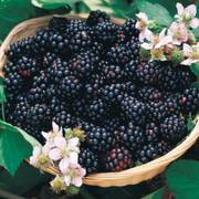 Triple Crown Blackberry Bush