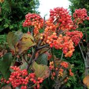 Tandoori Orange Viburnum