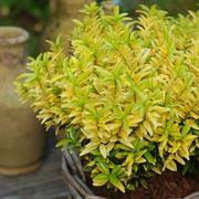 Euonymus 'Happiness'