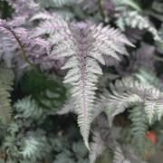 Athyrium Burgundy Lace