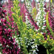 Calluna Garden Girls