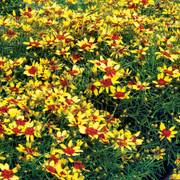 Coreopsis Firefly
