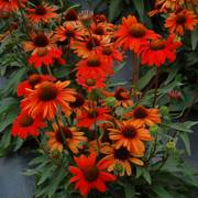 Kismet™ Intense Orange Echinacea