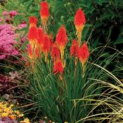 Kniphofia 'Papaya Popsicle'