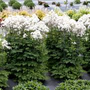 Nimbus ™White Meadow Rue