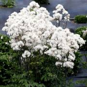 Nimbus White Meadow Rue