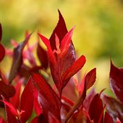 Leucothoe Leafscape™ Little Flames