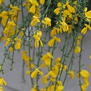 Cytisus Sister Golden Hair®