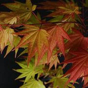 Acer palmatum Autumn Moon