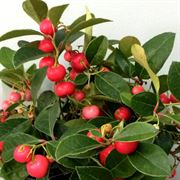 Gaultheria Berry Cascade Wintergreen