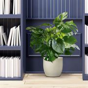 Philo Monstera in Cream Ceramic Container