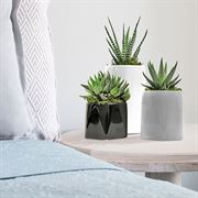 Zebra Cactus Trio in Ascending Votives