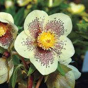 Winter Jewels® Golden Sunrise Lenten Rose