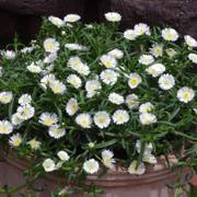 Delosperma 'White Wonder'