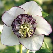 Helleborus Winter Jewels White Pearl