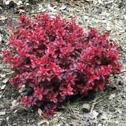 Berberis Fireball