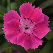 Dianthus Mountain Frost™ 'Rose Bouquet' Thumb