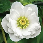 Winter Thriller™ Wedding Ruffles Hellebore