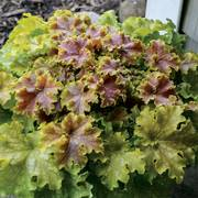 Shade perennial plants flowers perennials for shade gardens heuchera dolce apple twist mightylinksfo