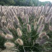 Pennisetum Puppy Love