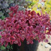 Sedum SunSparkler® Wildfire