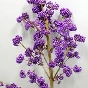 Callicarpa Plump and Plentiful® LilacCallicarpa Plump and Plentiful® 'Lilac'