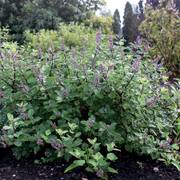 Vitex Summertime Blues