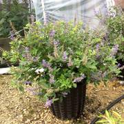 Vitex 'Summertime Blues'