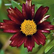 Big Bang™ Redshift Coreopsis