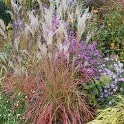 Miscanthus 'Little Miss' Thumb