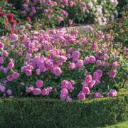 Harlow Carr® Shrub Rose