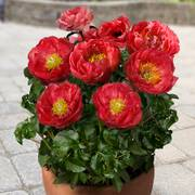 Paeonia Moscow