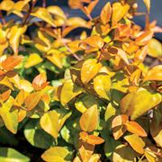 Abelia Peach Perfection™