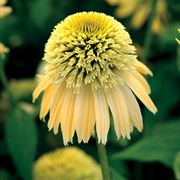 Echinacea Double Scoop™ Lemon Cream