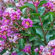 Lagerstroemia Bellini Grape