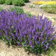 Salvia nemorosa Blue By You