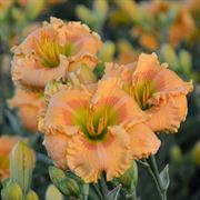 Hemerocallis Rainbow Rhythm® 'Orange Smoothie'