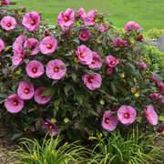 Hibiscus Summerific® Berry Awesome